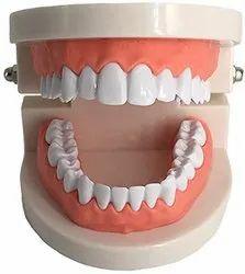PVC Dental Model