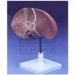 Pvc Human Liver Model