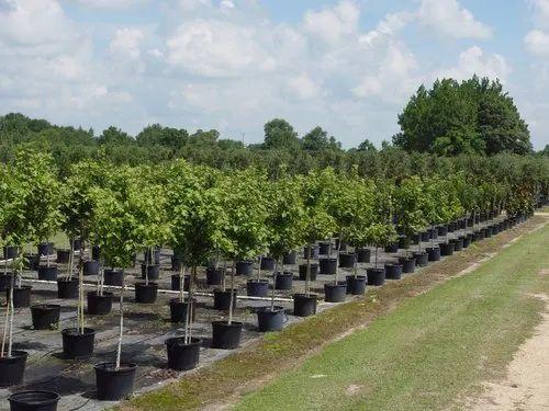 Natural Tree Plantation