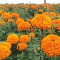 Pure Nature Marigold Extract By 10% 20% Lutein Extract