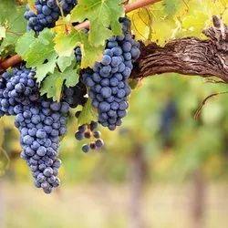 Grapes Flavour