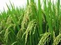 Pusa Basmati 1718 Variety Paddy / Rice Seeds