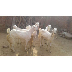Jamunapari Goat - Wholesale Price & Mandi Rate for