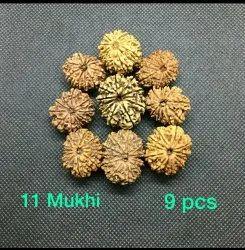 11 Mukhi Nepali Rudraksha