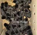 Kadaknath Chicks Pure Zed Black