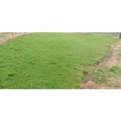 Natural Green Fescue Grass, For Garden