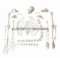 Disarticulated Bone Set ( Imported ) for Laboratory, Packaging Type: Box Packing
