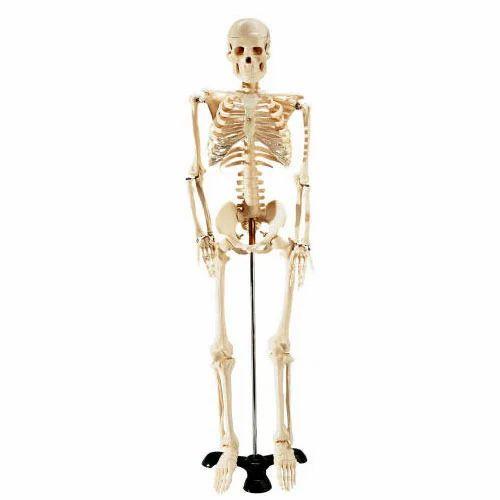 biology lab equipments - human skeleton manufacturer from new delhi, Skeleton