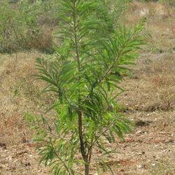 Bhui Amla Plant