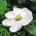 Gardenia Perfume Oil