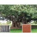 Ficus Benghalensis Tree