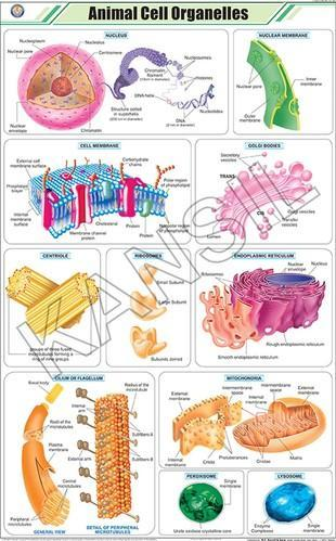 Animal Cell Organelles For Zoology Chart at Rs 160 /piece ...