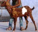 Sirohi Male Goat