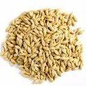 Barley Grain Seed
