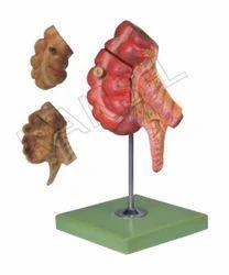 Digestive System Model Appendix And Caecum