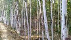 Eucalyptus Pulpwood Logs