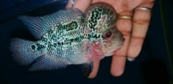 Flowerhorn Fish for Commercial