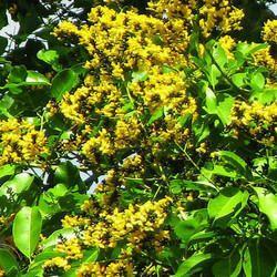 Pterocarpus Marsupium Vijaysar