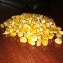 Sri Parvathi Exports Yellow Corn, Usage: Animal Feed