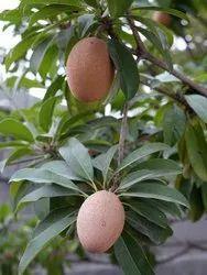 Chikoo Plants Seedlings