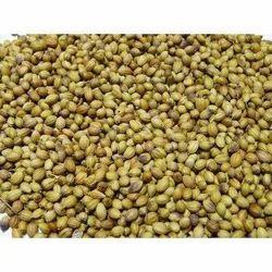 Ramganj Variety Coriander