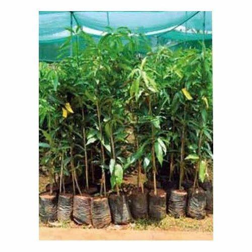 Imam Pasand Mango Plant