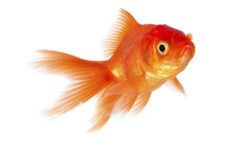 Beautiful Gold Fish Size All Rs 200 Piece Harsh Fancy Fish Aquarium Id 17364229230
