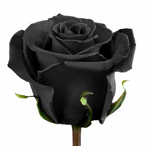 Black Rose, Pack Size: 6cm