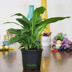 Peace Lily Black Plastic Pot