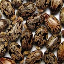 Dried Castro Seeds, Packaging Type: Bag, 50 Kh