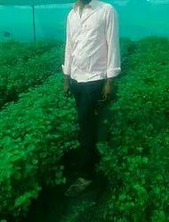 Grapes in Solapur, अंगूर, सोलापुर - Latest Price