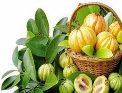 Garcinia Cambogia Malabar Tamarind Brindall Berry Exporters In India