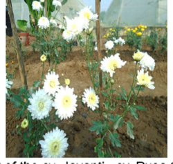 Chrysanthemum Poornima White Flower Plant