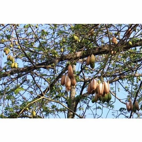 Bombax Ceiba Tree - View Specifications & Details of Outdoor