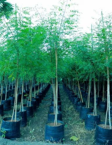 Neem Plant 15ft Height