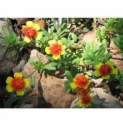 Achania Plant