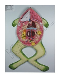 Frog Dissection For Zoology Model