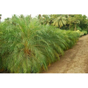 Phonix Palm Tree