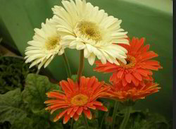 Gerbera Flower In Hyderabad Latest Price Mandi Rates From Dealers In Hyderabad