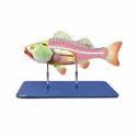 Bony Fish General Anatomy
