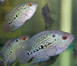 Flowerhorn Fish - Wholesale Price for Floran Fish in India
