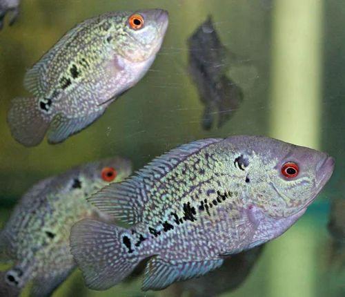 Fish - Flowerhorn Fish Baby Retailer from Durg
