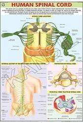 Human Spinal Cord For Human Physiology Chart