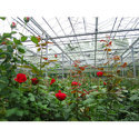 Polyhouse Red Roses Plant