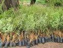 Amla / Indian Gooseberry / Emblica Officinalis Tree Seeds