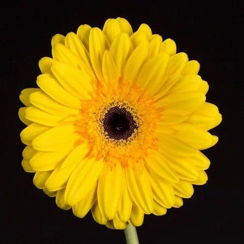 Fresh Gerbera Daisy Flower At Rs 20 Piece Gerbera Flower Id 14760267248