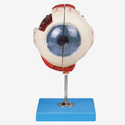 Eye Model On Stand Zx-1410