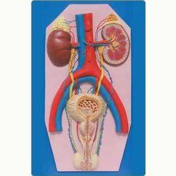 Human Excretory System Model
