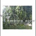 Jumbo Keshar Mango Plants