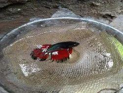Plaket Betta Fish